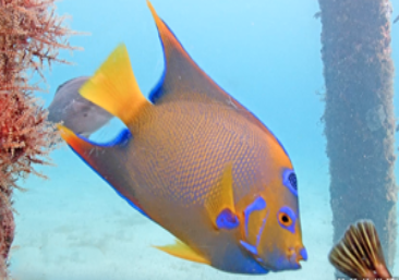 Queen Angelfish with vivid yellow and blue coloring and a mark on the forehead like a crown