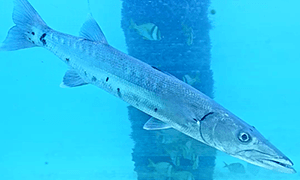 Barracuda swimming by a piling