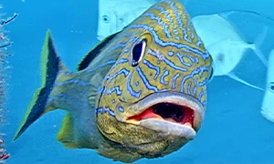 Bluestriped Grunt swimming towards camera with mouth open.