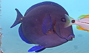 Blue Tang profile shot swimming with a Porkfish