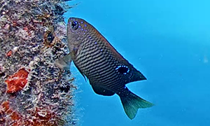 Dusky Damselfish Juvenile eating from the reef.  Beautifully colored fish with a black dot on its ba
