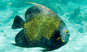 French Angelfish swimming.  Black fish with yellow dots.