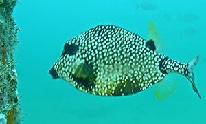 Smooth Trunkfish - very odd shaped fish, it has kissy fish lips and is a black fish with white dots
