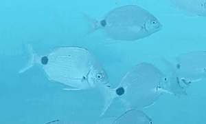 Silver Porgy - school of silver porgies swimming by.  They have an unmistakable black dot by tail an