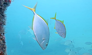 Yellow Jack - silver fish with yellow tail and fins.