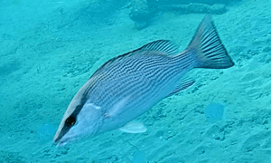 Gray Snapper fish - has a blackish gray stripe over its eye which runs from its nose to its back acr