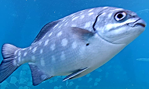 Chub - Topsail or spotted, they are light tan in color with multiple white spots all over the body.