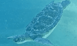 Green Sea Turtle diving down head first past the camera.