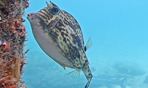 scrawled cowfish is similar to the smooth trunkfish, this fish is triangular box shape with horns li