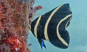 French Angelfish Juvenile - black fish with vertical yellow stripes and the very tips of the fins ha