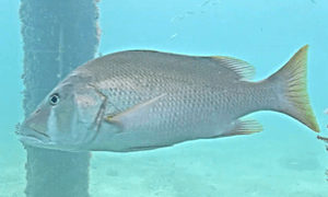 Dog Snapper - fish has a yellowish tint to it but the defining point is the white triangular marking