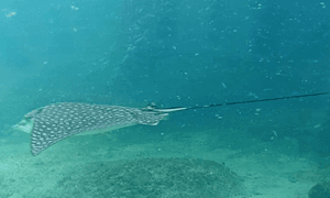 Spotted Eagle Ray - black in color covered in white spots and a whip like tail.