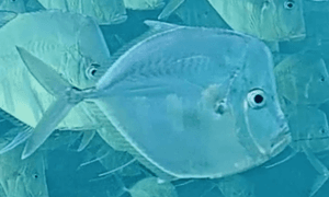 Moonfish - shiny silver fish very similar to a lookdown except the moonfish has shorter fins and a s