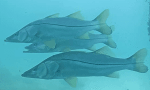 3 snook - snook have a black line down the length of its body and are yellow in color.