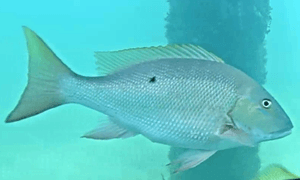Mutton Snapper - olive green on back and upper sides with pink hue fading to lighter belly & dark sp