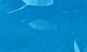 Yellowfin Mojarra - small fish swimming in distance, can't make out details but it appears to hav