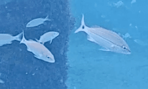 Multiple Tomtates swimming - black spot on tail stripe going down side