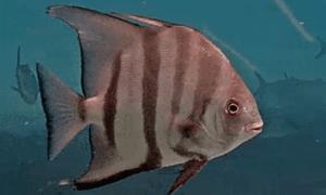 Spadefish markings like a zebra black and white stripes