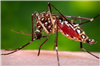 aedes-aegypti-cdc-id-9261-copyright-public-domain-size-web.png